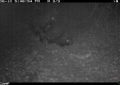 Porcupines mating 3 - Richard Mckibbin