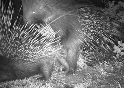 Porcupines mating - Coenrad Morgan