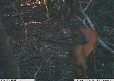Red duiker - Roy Jones - KZNWildlife