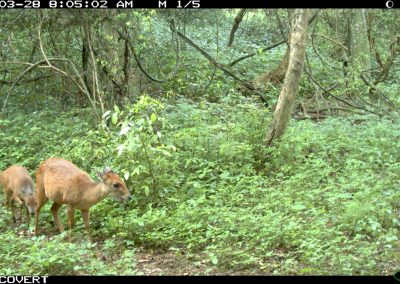 Red duiker and young - Richard McKibbin