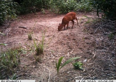 Red duiker at croc nest - Xander Combrink - KZNWildlife