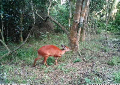 Red duiker passing - Richard McKibbin