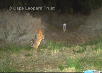 Red rock rabbit2 - Cape Leopard