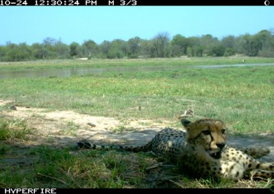 Resting cheetah - Limpopo Transfrontier Predator Project