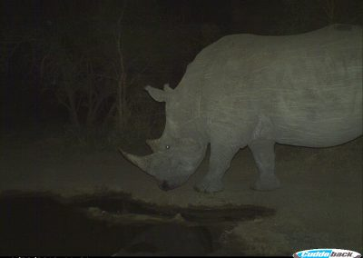 Rhino bull passing pan - undisclosed