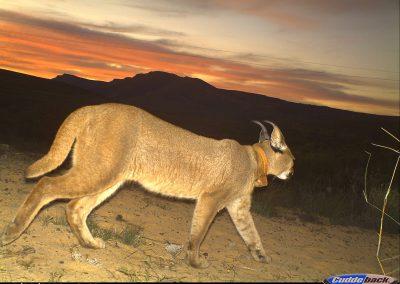Rocky the Caracal - Cape Leopard Trust