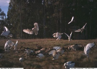 Sacred ibis take off - Rickert v d Westhuizen