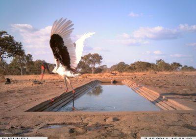 Saddlebilled stork liftoff - Peter Powell - Undisclosed