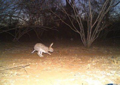Scrub hare - Villiers Steyn - HWE