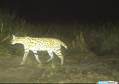 Serval passing - Richard Mckibbin