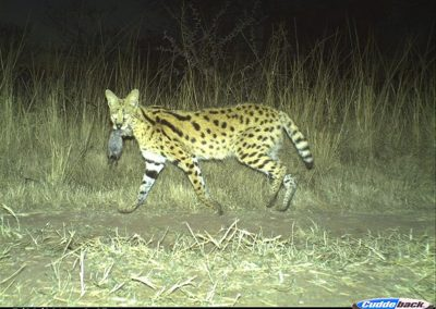 Serval with kill - Mark Matheson