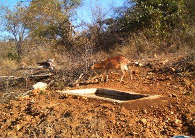 Sharpes grysbok fall in trough2 - Wayne Kieswetter