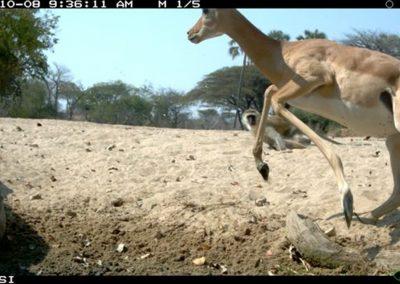 Skittish impala - Riaan Labuschagne