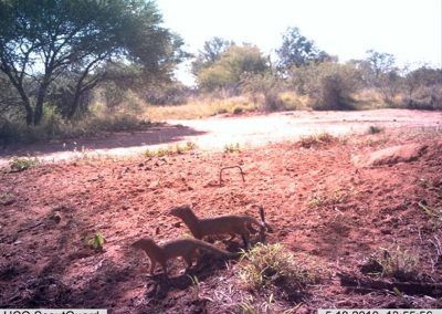 Slender mongoose pair - Louisa Richmond-Coggan