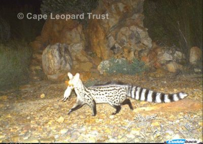 Small spotted genet with kill - Cape Leopard Trust