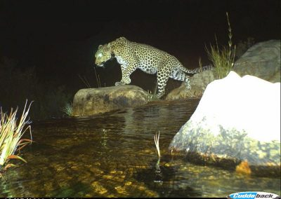 Spot the Leopard - Cape Leopard Trust - Boland