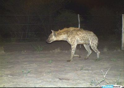 Spotted hyaena - Lorraine Boast