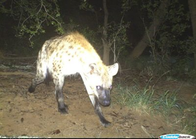Spotted hyaena - Wynand Uys - Limpopo