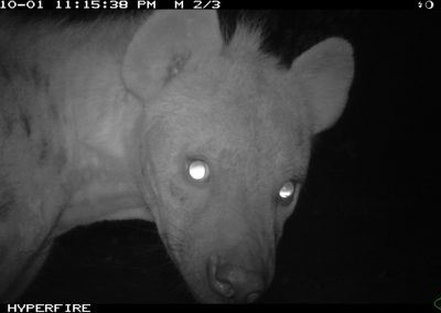Spotted hyena - Limpopo Transfrontier Predator Project
