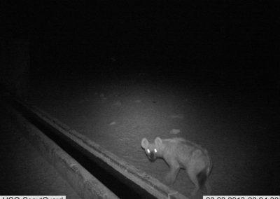 Spotted hyena - Sarah Edwards - Namibia