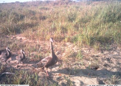 Spur wing goose family crossing - Richard McKibbin