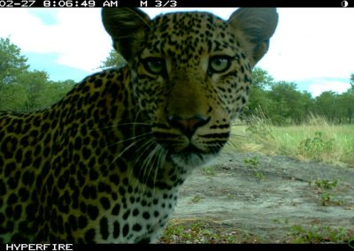 Staring leopard - Limpopo Transfrontier Predator Project
