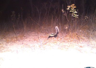 Striped polecat - - Nat Geo Okavango Wilderness Project - Angola