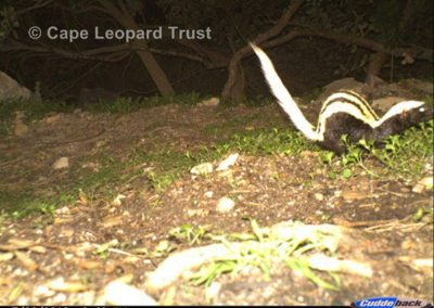 Striped weasel - Cape Leopard Trust