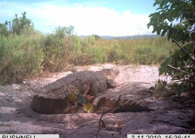 Tagged croc on nest- Xander Combrink - KZNWildlife