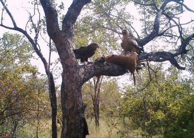Tawny and bateleur on leopard kill - Simon Riekert