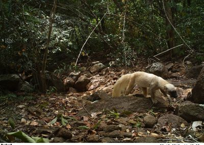 Tayra - White Morph - Jaguar Project - Dadanawa Ranch - Guyana - Evi Paemelaere