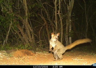 Thicktailed bushbaby - Tom Pritchard