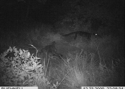 Two crocodiles at nest - Xander Combrink - KZNWildlife