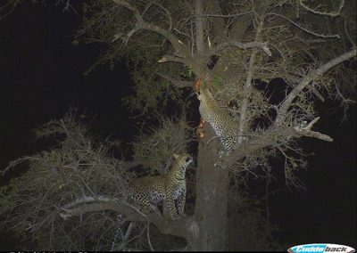 Two leopards in tree 2 - Byron du Preez