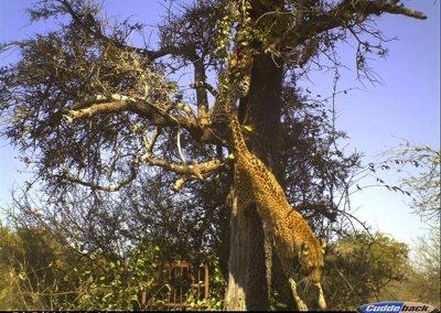 Two leopards in tree - Byron du Preez