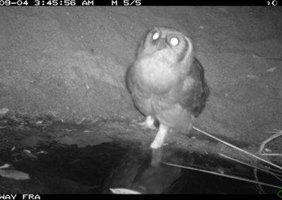 Verreauxs eagle owl drinking2 - Riaan Labuschagne