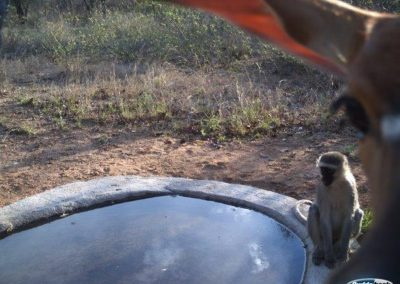 Vervet monkey and nyala doe at water trough - Peter Thorpe