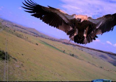 Vulture landing 4- Luke Strugnell - EWT Eskom