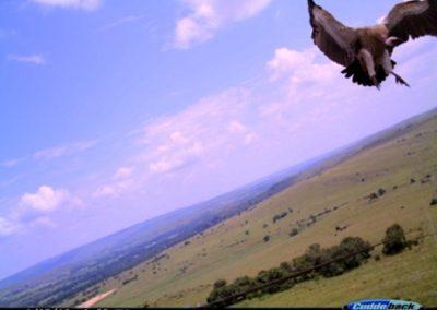 Vulture landing - Luke Strugnell - EWT Eskom