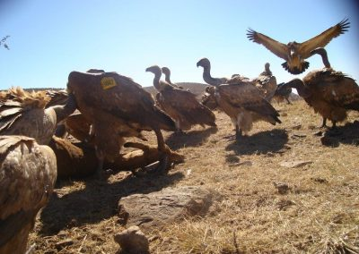 Vulture landing on carcass - Gary Bennetts