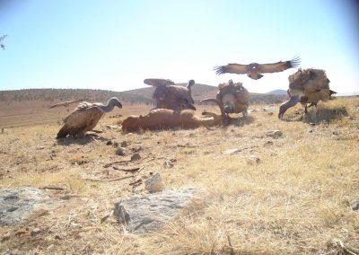 Vulture landing on carcass2 - Gary Bennetts