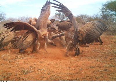 Vultures fighting at carcass - Caroline Kruger