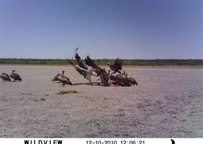 Vultures on kill - Casey van der Leek