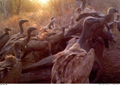 Vultures on kill - Michelle Altenkirk