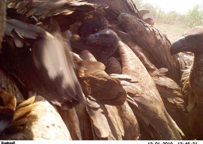Vultures on kill - Stephen Midzi - SANParks