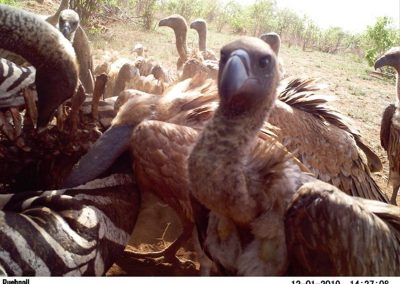 Vultures on kill2 - Stephen Midzi - SANParks.JPG