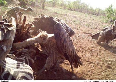 Vultures on kill3 - Stephen Midzi - SANParks