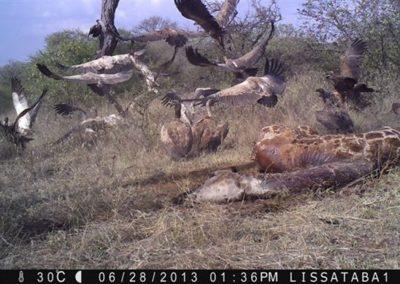 Vultures taking off from giraffe carcass - Lissataba PGR