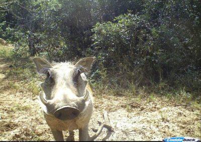 Warthog Curious - Sacha Peinke - Mpofu