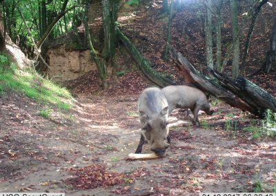 Warthog eating bone - Roelof van der Breggen